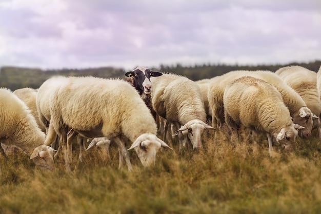Colpo sognante di un gregge di pecore che pascola su un terreno agricolo sotto il cielo nuvoloso