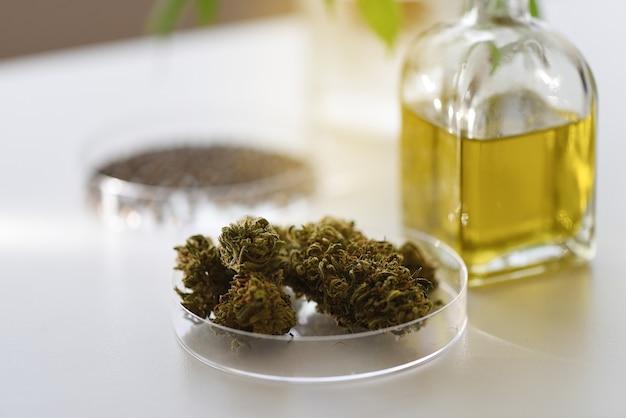 Fiori di cannabis essiccati in una capsula di petri nel laboratorio di estrazione del cbd