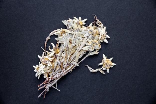 Fiore secco di edelweiss isolato su sfondo nero.