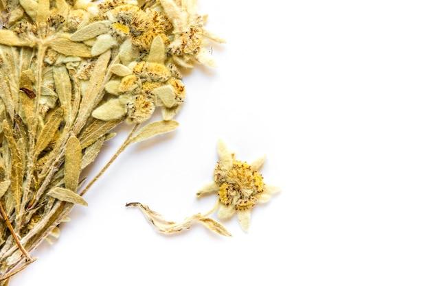 Fiore secco di edelweiss isolato su priorità bassa bianca.