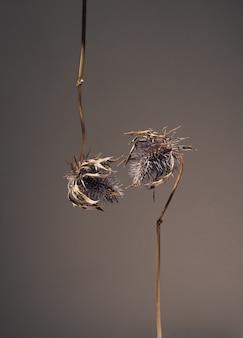 I fiori secchi di eryngium dalla testa blu pendono e si allungano l'uno verso l'altro per un bacio. fiori in amore. bella atmosfera floreale biglietto di auguri concetto su sfondo scuro con copia spazio.