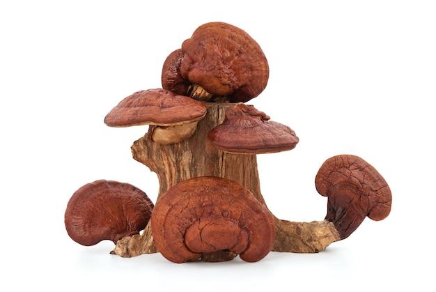 Ganoderma lucidum o reishi essiccato, fungo lingzhi isolato su sfondo bianco.