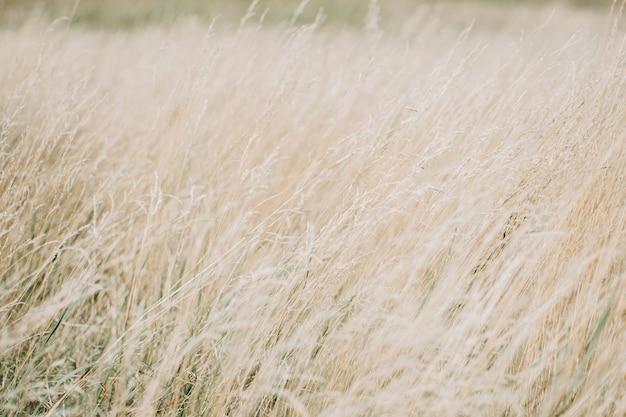 Pannocchia essiccata erba texture di sfondo beige morbido erba di prato essiccata astratta naturale minimo trend