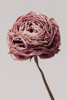 Fiore di ranuncolo rosa essiccato su sfondo grigio