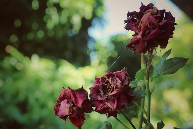 Rose rosse secche sull'albero
