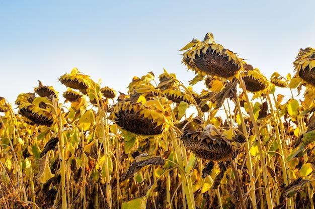 Teste di girasole mature essiccate, i raccolti aspettano di essere raccolti