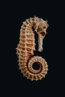 Scheletro di cavalluccio marino essiccato isolato su sfondo nero