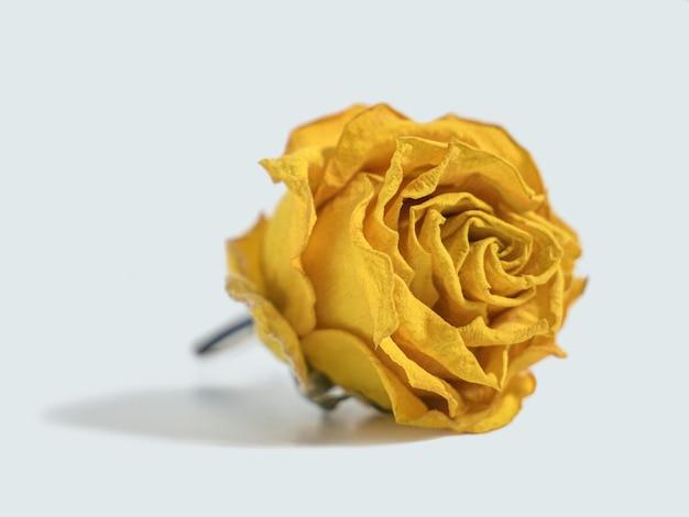 Testa di fiore rosa gialla secca isolata