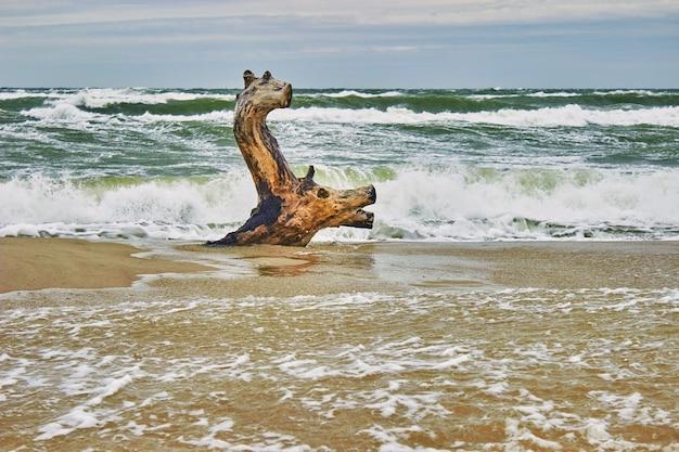 Legno alla deriva in riva al mare, simile a un cervo che galleggia tra le onde. onde di tempesta in background