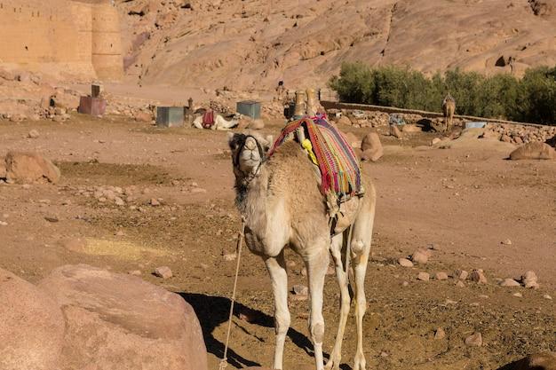 Cammello dromedar sullo sfondo della montagna di san mosè, egitto, sinai