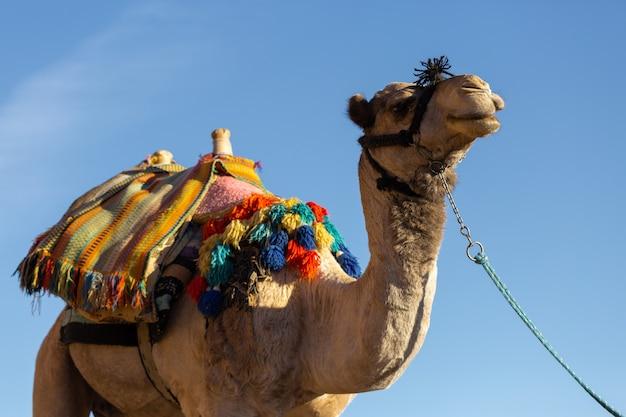 Cammello dromedar nelle sabbie di fondo del deserto caldo, egitto, sinai