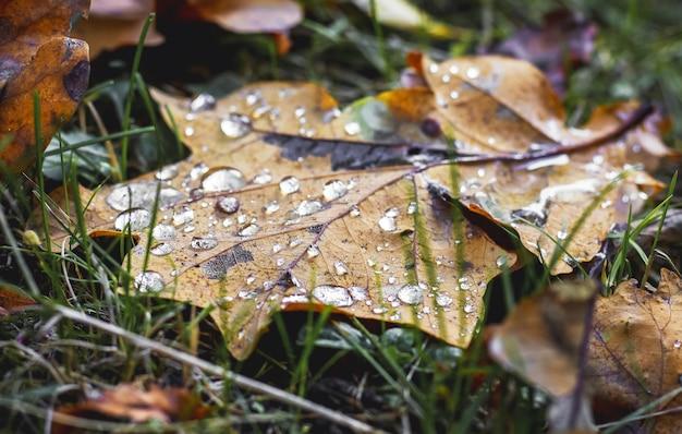 Gocce di rugiada su foglia d'acero secca. tardo autunno nel bosco