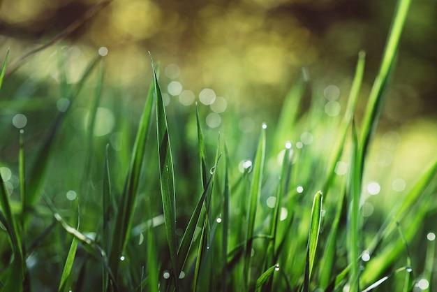 Gocce di rugiada sull'erba verde in una mattina soleggiata. sfondo naturale trama floreale. messa a fuoco selettiva, profondità di campo. bellissimo bokeh naturale.