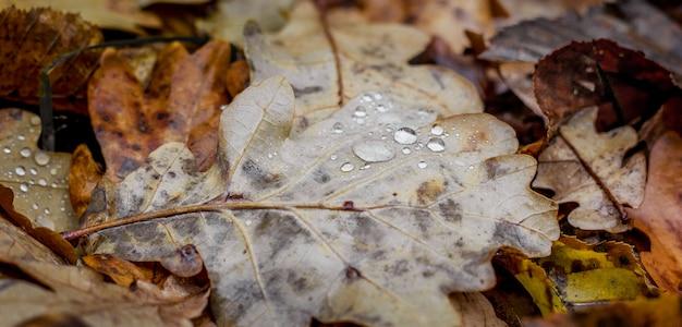 Gocce di pioggia su una foglia di quercia. foglie secche autunnali sul terreno