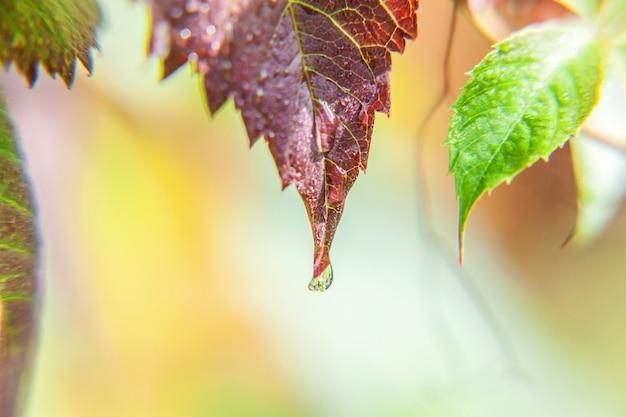 Gocce di acqua piovana su foglie di vite verde in vigna. sfondo del giardino agricolo primaverile o estivo