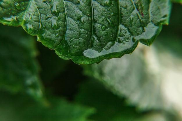 Gocce di acqua piovana su foglie di vite verde in vigna. viticoltura industria del vino