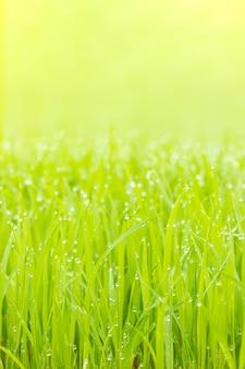 Gocce d'acqua rugiada sulle foglie delle piantine di riso e luce solare dorata al mattino. primo piano e copia spazio in alto. concetto di azienda agricola biologica.