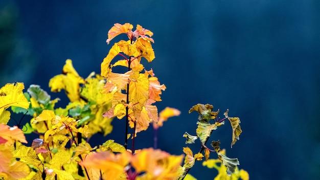 Foglie autunnali secche nella foresta su uno sfondo blu scuro