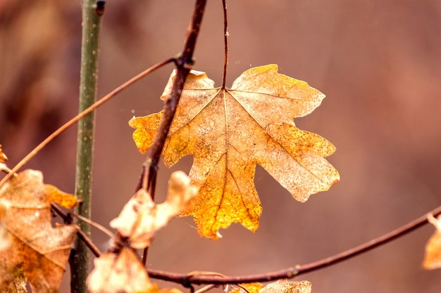 Foglia d'acero autunnale secca su un ramo nella foresta