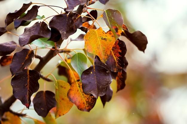 Foglie di pera autunnali secche in giardino