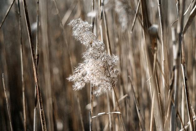 Canna beige secca naturale. bellissimo arredamento alla moda in stile minimalista scandinavo