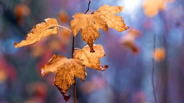 Foglie autunnali marroni asciutte nella foresta su uno sfondo sfocato
