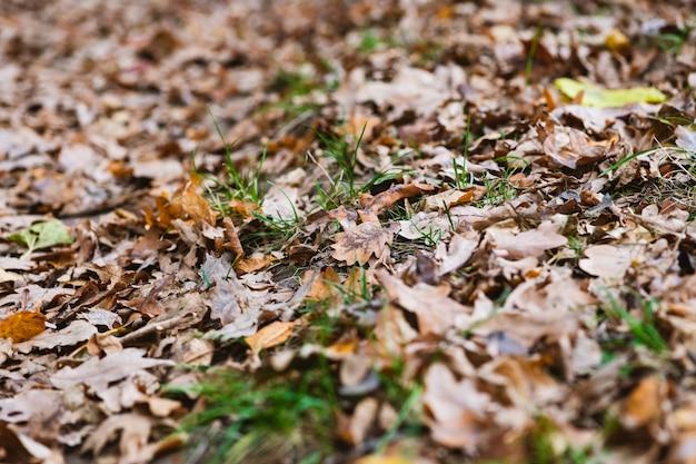 Il fogliame di quercia marrone secco giace a terra con erba verde, sfondo di caduta naturale con lati sfocati