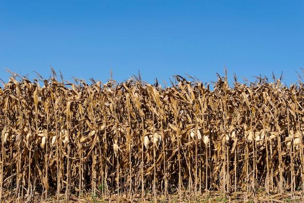 Piantagione di mais secca, pronta per il raccolto e il cielo blu