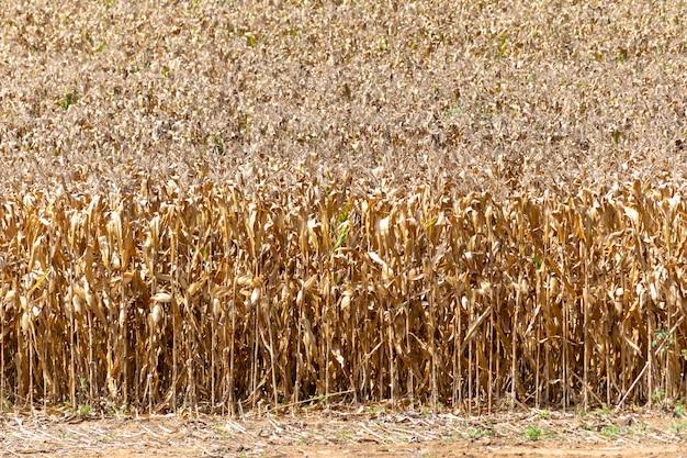 Piantagione di mais secca pronta per il raccolto