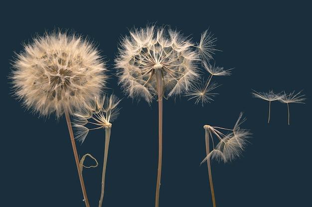 I semi di dente di leone secchi volano via dal fiore