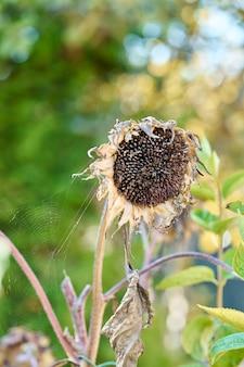 Girasole secco e morto, fiore e pianta senza vita