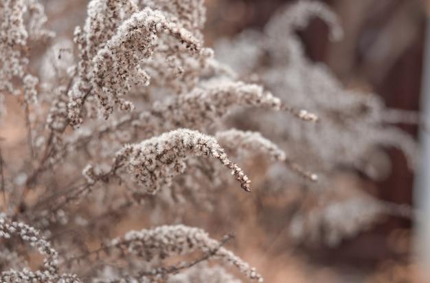 Fiori secchi sbiaditi di verga d'oro nel giardino d'inverno