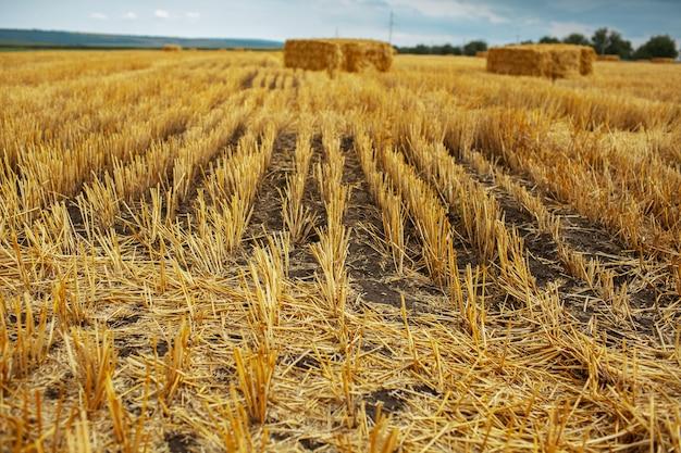 Campo di grano secco con mucchi di fieno in giornata estiva.