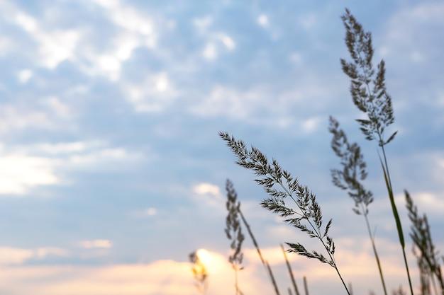 Pannocchie di erba secca della pampa contro il cielo arancione con un sole al tramonto.