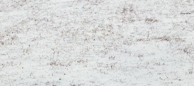L'erba secca fa capolino da sotto la neve, sfondo invernale