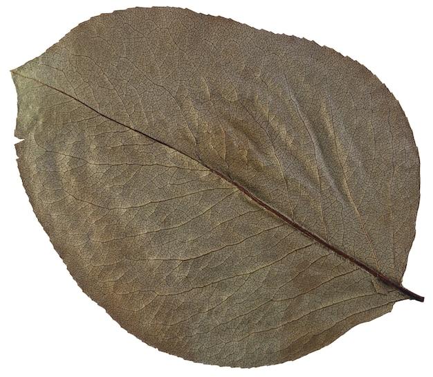 Foglia secca da erbario isolato su superficie bianca.
