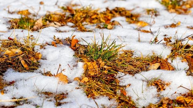 Foglie secche ed erba appassita si affacciano da sotto la neve durante il disgelo