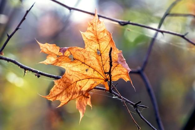 Foglia di acero arancione secca su un ramo nella foresta con tempo soleggiato