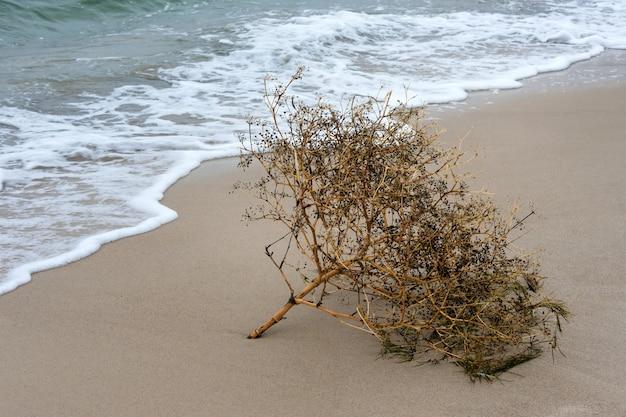 Pianta secca in riva al mare. flora del mar morto, pianta che si trova sulla sabbia della costa del mare vicino all'acqua.