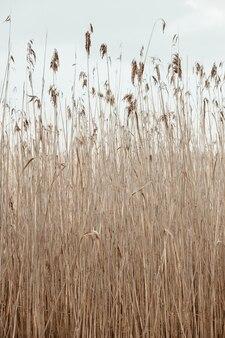 Campo di steli di canna secca. minimo paesaggio naturale
