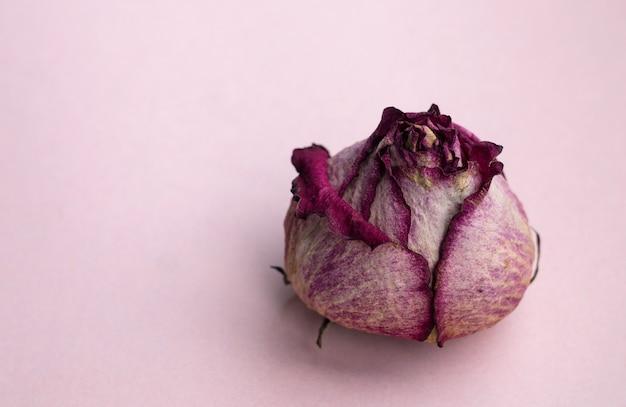 Fiore di rosa secco primo piano su uno sfondo rosa carta di fiori minimal poster interno tè secco