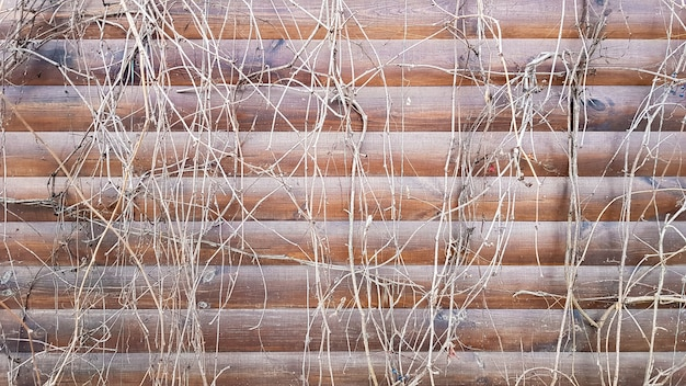 Steli secchi di una pianta rampicante. vista ravvicinata di un frammento di un vecchio muro di legno coperto da edera secca. immagine astratta con le piante di vite grigie morte sulle plance marroni di una casa della facciata