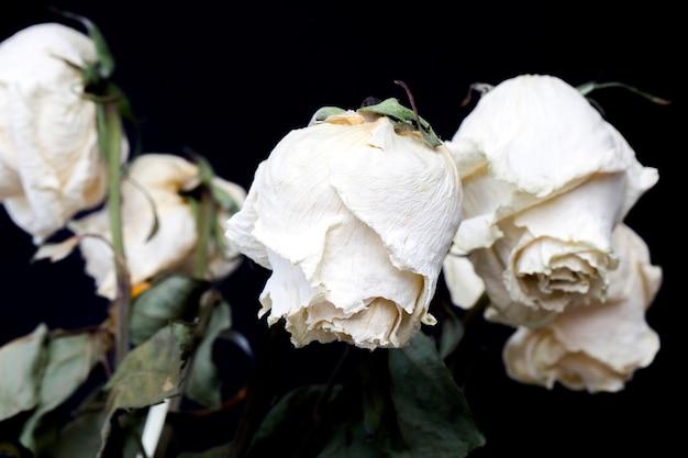 Rosa bianca secca
