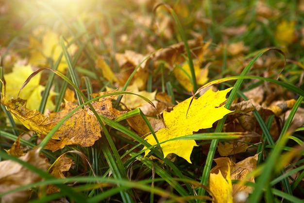 Foglie di acero cadute gialle secche nell'erba verde - settembre, ottobre. umore autunnale, tempo soleggiato, sfondo autunnale