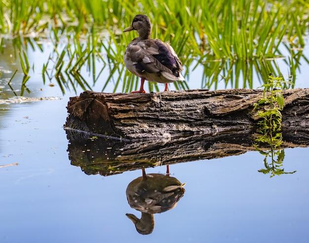 Anatra su un pezzo di legno nel lago con riflessi nell'acqua