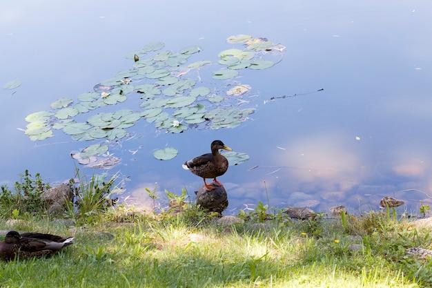 Un'anatra che riposa su uno scoglio in riva a un lago dall'acqua sporca, giovane, nata all'inizio dell'estate