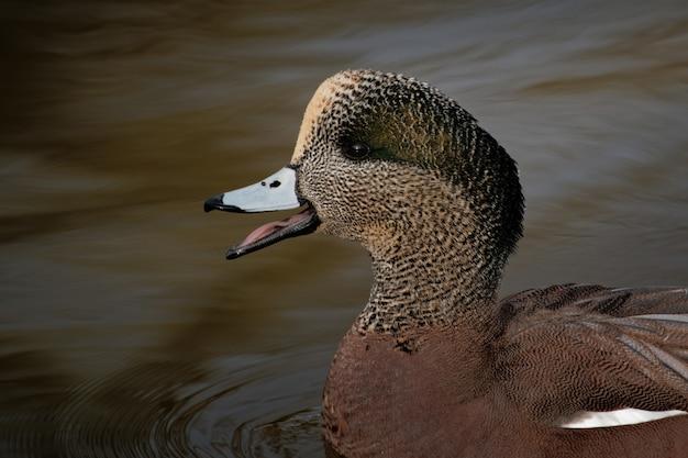Anatra che nuota nel lago durante il giorno
