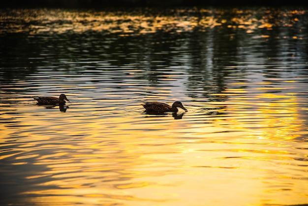 Anatra che nuota nel lago, tramonto.