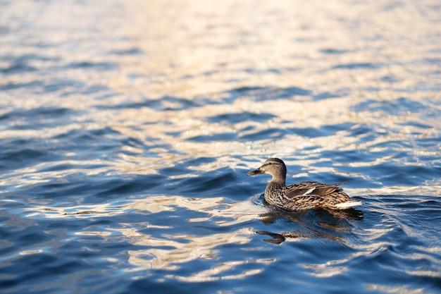 Anatra che nuota nel fiume
