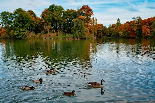 Anatre in un lago nel giardino inglese di monaco di baviera englischer garten park monaco di baviera baviera germania